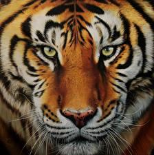Картинки Большие кошки Тигры Рисованные Крупным планом Морда Взгляд Усы Вибриссы Животные