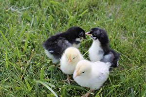 Фотография Птица Цыплята Трава Четыре 4 Животные
