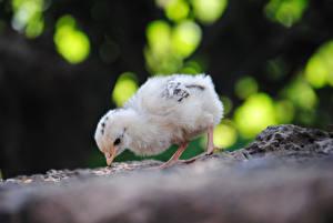 Фото Птицы Цыплята Животные