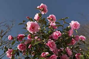Фотографии Камелия Розовый Листья Цветы