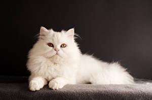 Картинки Кошки Черный фон Белый Взгляд Животные