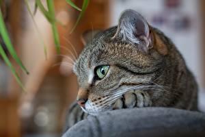 Фото Кошки Крупным планом Животные