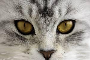 Фотография Кошки Глаза Крупным планом Макро Взгляд Нос Животные