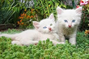Фото Кошки Котята Двое Белый Животные