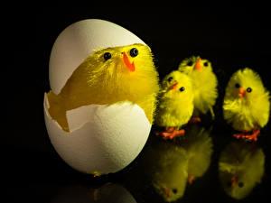 Обои Цыплята Черный фон Яйца Животные картинки
