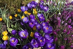 Обои Крокусы Много Крупным планом Цветы