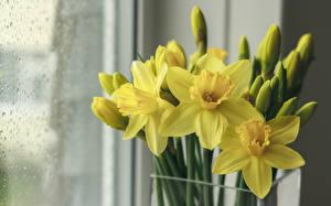 Картинка Нарциссы Желтый Цветы
