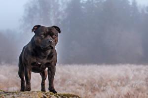 Картинка Собаки Черная Амстафф