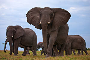 Фотографии Слоны Крупным планом Много Животные