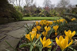 Картинка Англия Сады Крокусы Желтый Walsall Garden Цветы