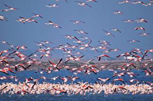Картинки Фламинго Много Вода Полет Животные