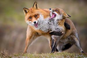 Картинки Лисица Двое Обнимает животное