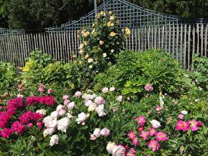Фотографии Франция Сады Розы Пионы Париж Кусты Bagatelle Rose Garden Природа