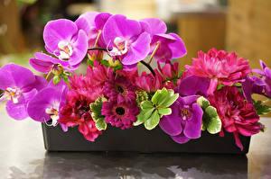 Фотографии Герберы Орхидеи Георгины Крупным планом Цветы