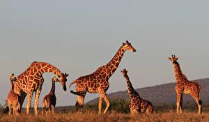 Картинка Жирафы Детеныши Вечер Животные