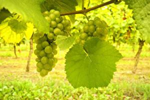 Обои Виноград Листья Ветки Еда