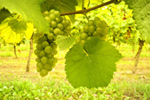 Обои Виноград Виноградник Листва На ветке Продукты питания