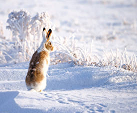 Фото Зайцы Снег Животные