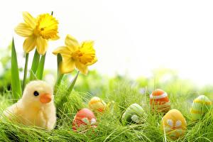 Фотография Праздники Пасха Нарциссы Цыплята Яйца Трава