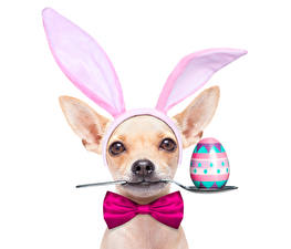 Картинка Праздники Пасха Собаки Белый фон Яйца Чихуахуа Бантик Ложка