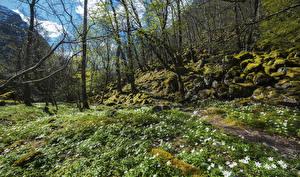 Фото Норвегия Весна Подснежники Камни Деревья Мох Forsand Rogaland Природа