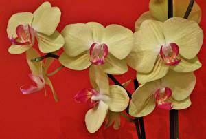 Фотография Орхидеи Желтый Красный фон Цветы