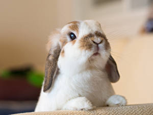 Обои Кролики Крупным планом Морда Животные