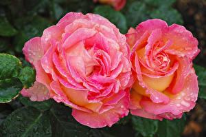 Фото Розы Крупным планом Розовый Двое Цветы