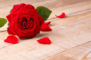 Картинка Розы Крупным планом Доски Красный Лепестки Цветы