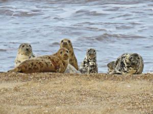 Картинка Тюлени Побережье Взгляд Животные