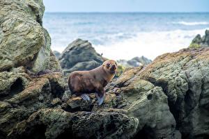 Картинка Тюлени Камни