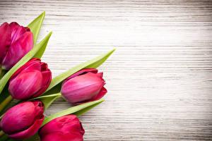 Картинки Тюльпаны Крупным планом Бордовый Цветы