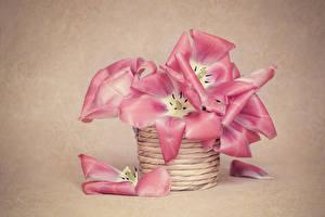 Фото Тюльпаны Цветной фон Корзина Розовый Лепестки Цветы