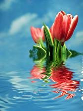 Фото Тюльпаны Вода Красный Цветы