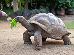 Фото Черепахи Крупным планом Животные