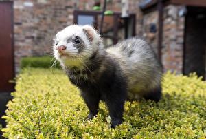 Фотографии Хорьки Взгляд Животные