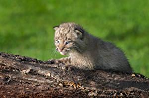 Обои Большие кошки Рыси Детеныши Ствол дерева Животные картинки