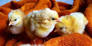 Картинка Птица Цыплята Втроем