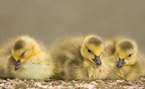 Картинки Птицы Цыплята Втроем Животные
