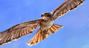 Фотография Птицы Ястреб Полет Крылья Животные