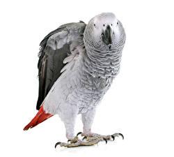 Фотографии Птицы Попугаи Вблизи Белый фон