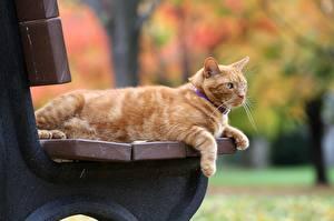 Фотография Кошки Рыжий Скамейка Животные