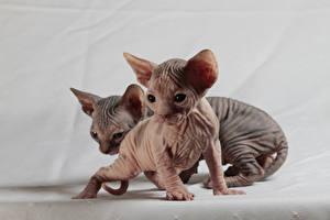 Картинки Кошки Сфинкс кошка Котята Двое