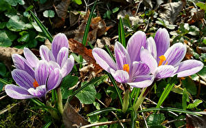 Фотографии Крокусы Крупным планом Цветы