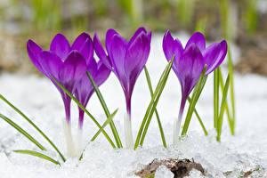 Картинки Крокусы Крупным планом Фиолетовый Снег Цветы