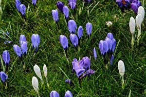 Картинки Крокусы Бутон Трава Цветы