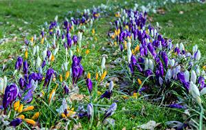 Фото Крокусы Много Цветы