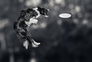 Обои Собаки Бордер-колли Прыжок Фризби Животные