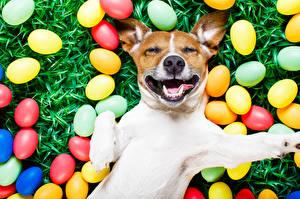 Фотографии Собаки Праздники Пасха Джек-рассел-терьер Яйца Лапы Морда Смешные