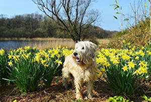 Картинки Собаки Мальтийская болонка Нарциссы Весна Животные Цветы